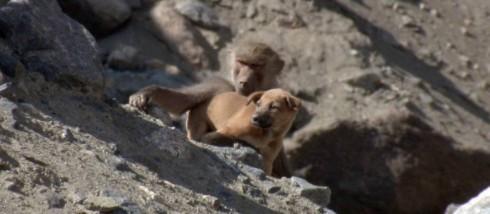 Babouin et chien
